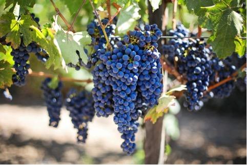 """Alt=""""vorrei organic wine red grapes"""""""