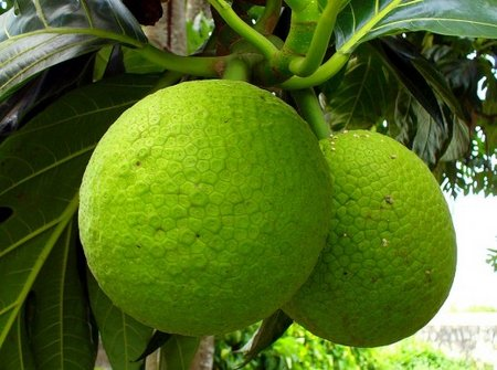 "Alt=""vorrei italian superfood breadfruit"""