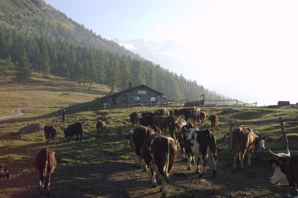 """Alt=""""cows fontina"""""""